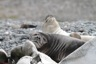 Elephant seal pups resting on old whale bones