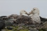 Another giant petrel