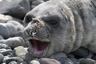 A young elephant seal