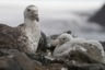 Giant petrel with its offspring