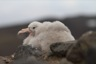 Another giant petrel chick, there's about 23 of them in the nearby colony