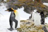 King penguin among molting adelis and chinstraps