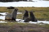 Fur seals playing on the grass