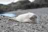 Male weddel seal lazying around