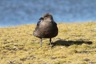 Another skua by the lake