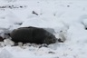 Fur seals aren't bothered by snow much