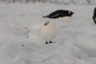 Those birds can often be seen near places in which gentoo penguins rest...