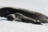 Weddel seal pup