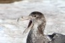 Giant petrel in a rare closeup