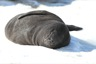 Elephant seal pup, a couple days old