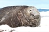 A big elephant seal male, the bruising comes from fighting over females