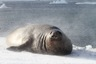 A huge elephant seal male