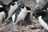 Adeli colony with a chick killed by other penguins